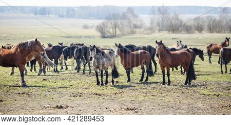 Huge Herd Of Horses In The Field. Belarusian Draft Horse Breed. Symbol Of Freedom And Independence