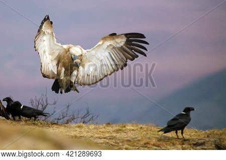 The Cape Griffon Or Cape Vulture (gyps Coprotheres), Also Known As Kolbe's Vulture Landing On The Ed