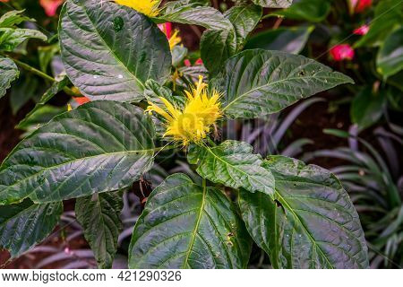 Golden Plume Plant With Leaves In Close Up, Flower In Bloom, Tropical Ornamental Plant Specie From B