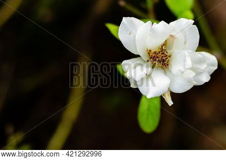 Damaged White Rose Against The Dark Background With Copy Space. Hopelessness Concept