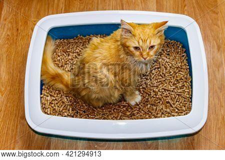 Ginger Cat In The Cat's Litter Box