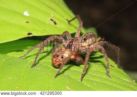 Spider Preying On A Cricket. Tambopata, Amazon Rainforest, Peru