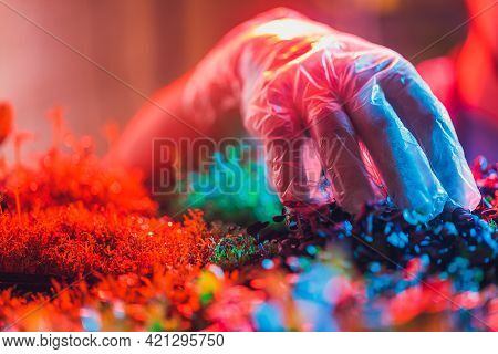 Microgreen Radish Sprouts In Female Hands In Gloves, Raw Sprouts, Microgreens, Healthy Eating Concep