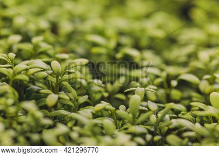 Closeup Of Sprouted Arugula. Healthy Lifestyle Food. Microgreens Close-up Background. Fresh Microgre