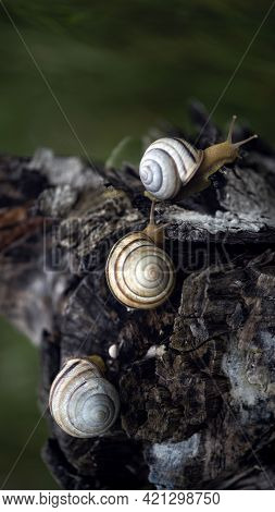 Three Snails On A Tree Stump. Spixies Are Small Snails. Aquarium Snail.snails In Motion.