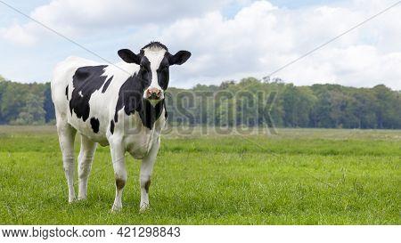 Single Dutch, Heifer Cow In A Field Looking, Copy Space
