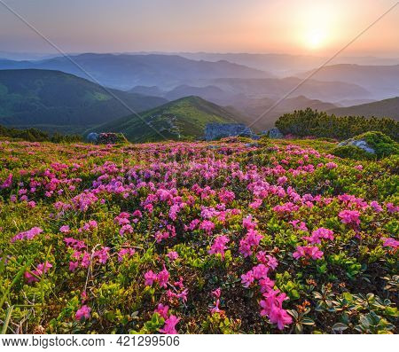Pink Rose Rhododendron Flowers On Early Morning Summer Mountain Slope. Carpathian, Chornohora,  Ukra