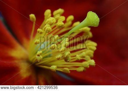 Close Up Of A Helianthemum Rock Rose Flower Showing Yellow Stamen And Anthers