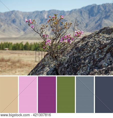 A Beautiful Rosemary Bush With Pink Flowers Grows On A Rock On A Sunny Day. Spring Landscape With Hi