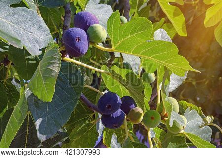 Fig Tree Branches (ficus Carica) With Fruits At Different Stages Of Ripening