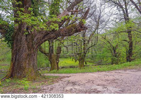 Grove Of Old Chestnut Trees ( Sweet Chestnut, Castanea Sativa ) In Spring. Montenegro, Bar