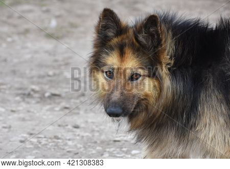 Portrait Of A Wise Wild Stray Shaggy Dog Piercingly Peering Right Into The Soul