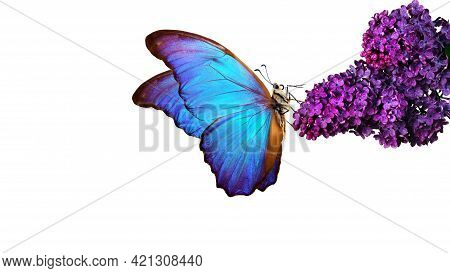 Beautiful Blue Morpho Butterfly On A Flower On A White Background. Lilac Flower In Water Drops Isola