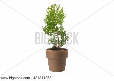 Chinese Arborvitae - Platycladus Orientalis - Seedling In A Pot, Isolated On White. Type Of Evergree