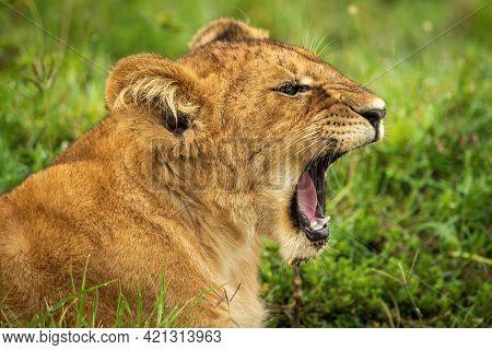 Close-up Of Lion Cub Lying Down Yawning
