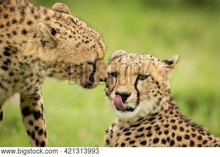 Close-up Of Cheetah Nuzzling One Lying Down