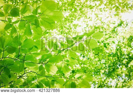 Full Frame Background Of Fresh Green Leaves In A Crown Of A Beech Tree With Deep Sun Backlight. High