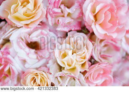 Peach Drift Cluster Flowered Roses In Bloom. San Jose Municipal Rose Garden, San Jose, California, U