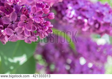 Bright Blooms Of Spring Purple Lilac. Syringa Vulgaris, The Lilac Or Common Lilac, Is A Species Of F