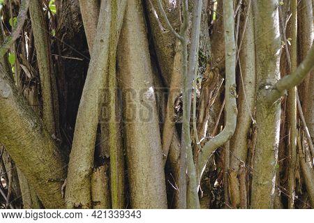 Perennial, Branched Trunk Of A Hazel Bush Close-up. Natural Wood Texture