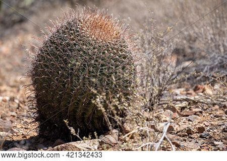 Large Barrel Cactus, Also Known As A Fishhook Cactus (ferocacus) Bakes In The Sonoran Desert Sunshin