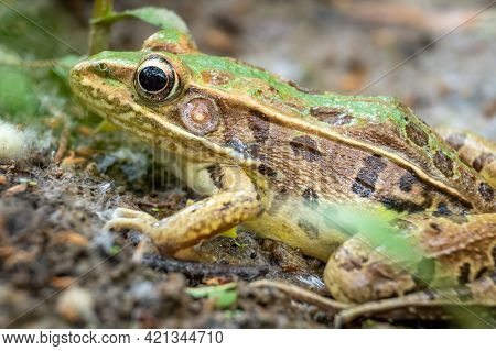 Side View Of A Southern Leopard Frog (rana Sphenocephala) By The Creek. North Carolina.