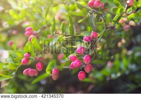 Mango Yawn Lime Or Bengal Currant, Christs Thorn Or Carunda Or Karonda Thailand Fruit.