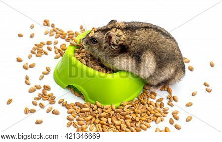 Hamster With A Feeding Trough On White.