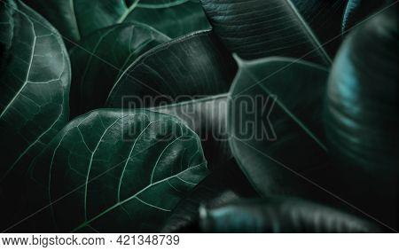 Natural Leaf Texture Background. Closeup Of Green Fiddle Fig, Ficus Lyrata And Ficus Elastica Or Rub