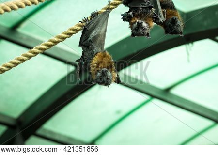 Groupe Of Gray-headed Flying Fox Hangs Upside Down, With A Glass Ceiling And Metal Beams In The Back