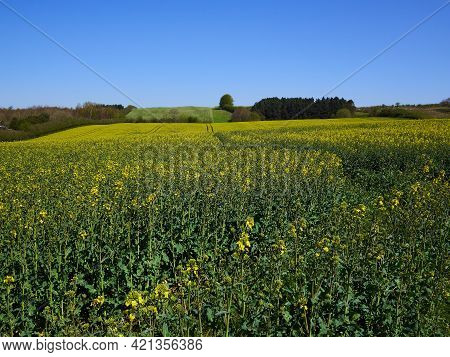 Field Of Blooming Oilseed Rape With Clear Blue Sky Above - Agriculture Background Image