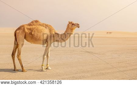 Lonely Camel In The Desert. Selective Focus