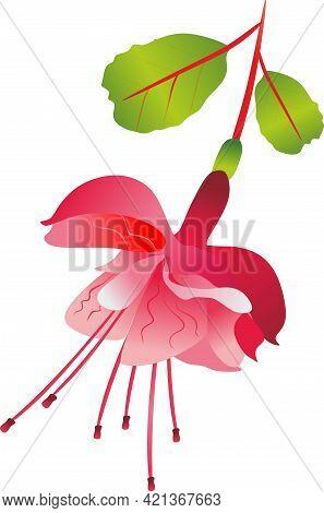 Summer Fuchsia Flower. Spring Flower Fuchsia. Fuchsia Transparent Background. Wedding Flowers. Pink