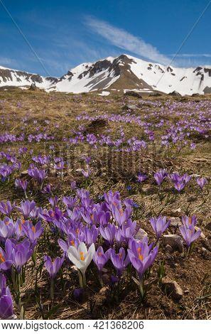 Wild Italian Mountains With Flowering Of Crocus Vernus