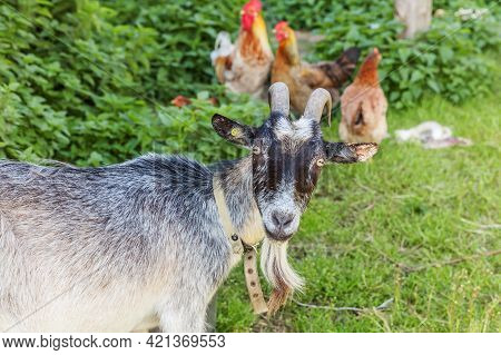 Goat And Free Range Chicken On Organic Animal Farm Freely Grazing In Yard On Ranch Background. Hen C