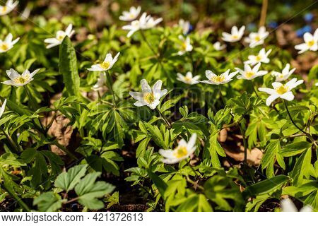Wood Anemones Growing At Field. Beautiful White Spring Flowers Anemone Nemorosa. Scenic Delicate Spr