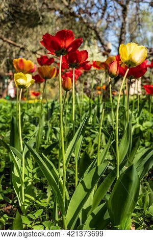 Low Angle Vertical Photo Of Fringed Tulips. Red, Yellow And Orange Fringed Tulips Are Growing Wild I