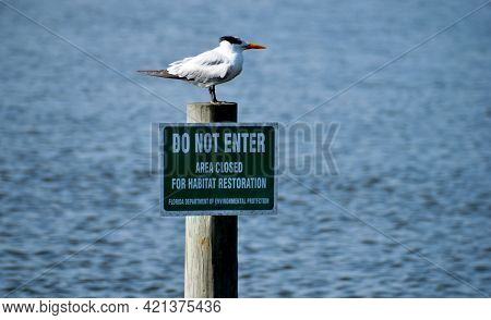 Tern Sea Bird In The Wild Perched On Piling Pole With Sign Posted Background.