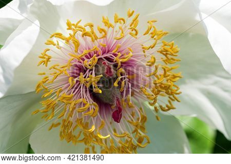 Stamens And Pistils Of White Peony Flower Close-up On A Sunny Day Macro Photography