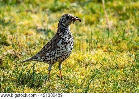Song Thrush Catching Leather Jacket Grubs From The Meadow, Turdus Philomelos