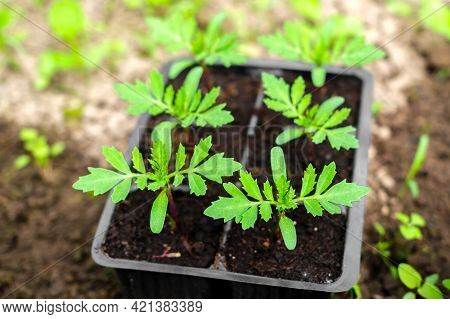 Young Seedlings Of Marigolds (tagetes) In Pots.