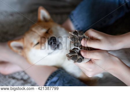 Womens Hands Hold The Paws Of A Sleeping Dog Shiba Inu. Selective Focus. Close-up. Trust, Calm, Care