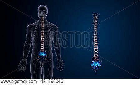 Human Skeleton Vertebral Column Coccyx Or Tail Bone Anatomy 3d Illustration.