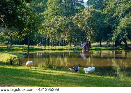 Geese Near The Pond In Park. Countryside Recreation Zone With Alcove On The Shore. Summer Vacation C