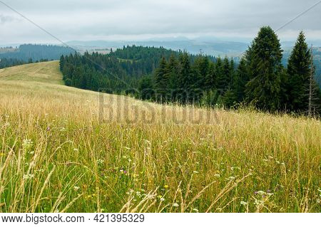 Tall Grass On The Meadow. Spruce Forest On The Hills. Mountain Landscape On A Cloudy Day In Summer