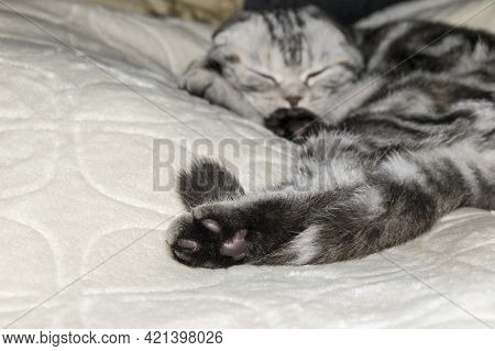 The Black-white-gray Cat Is  Sleeping. Hind Cat Paw And Tail Close-up. Fluffy Short Wool.