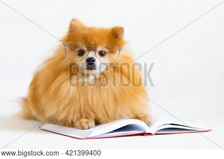 Creative Intelligent, Smart, Serious Dog Pomeranian Spitz Professor With Glasses And Bow Tie Reading