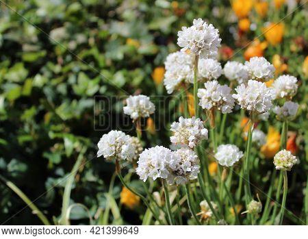 Blossoming Thrift In The Garden In The Garden