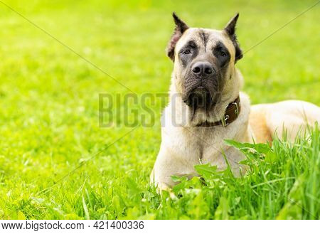 Young Mastiff, Cane Corso Fawn Beige Color On Green Grass In Sunny Day. Security, Protection Of Terr