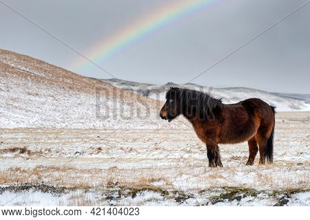 Icelandic horse, equus ferus caballus, with winter coat. This breed can withstand the harsh conditions  of Iceland. This chestnut mare stand in a snow covered field with a rainbow behind.